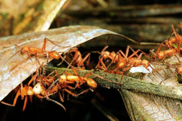 Wall Art - Photograph - Army Ants Carrying Larvae by Dr Morley Read/science Photo Library