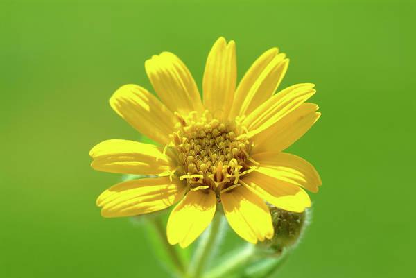 Wall Art - Photograph - Arnica Flower (arnica Montana) by Bildagentur-online/th Foto/science Photo Library