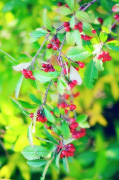 Wall Art - Photograph - Aronia Arbutifolia 'brilliantissima' by Maria Mosolova/science Photo Library