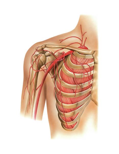 Vertebral Artery Photograph - Arterial System Of The Shoulder by Asklepios Medical Atlas