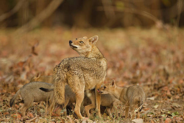 Parental Care Photograph - Asia, India, Pench National Park by Joe and Mary Ann Mcdonald