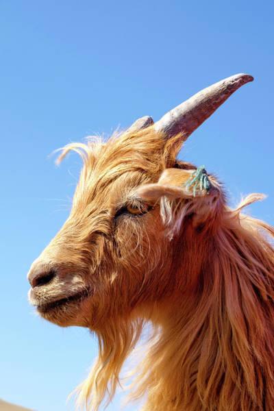 Mountain Goat Photograph - Asia, Western Mongolia by Emily Wilson