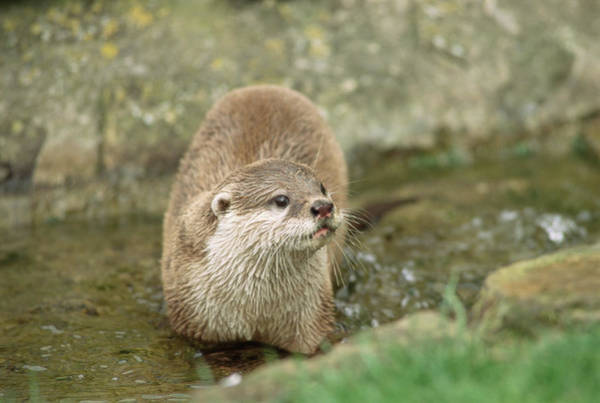 Clawed Photograph - Asian Short-clawed Otter by Duncan Shaw/science Photo Library