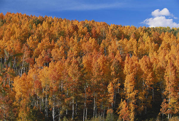 Wall Art - Photograph - Aspen In The Fall, Colorado by James Steinberg