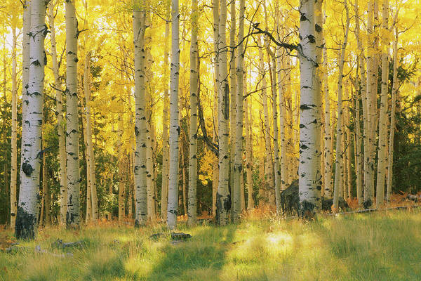 Wall Art - Photograph - Aspen Trees In A Forest, Coconino by Panoramic Images