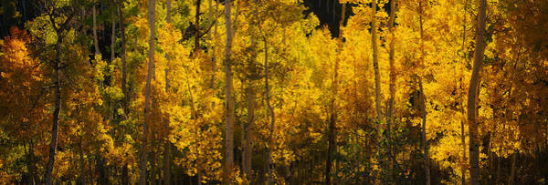 Telluride Photograph - Aspen Trees In A Forest, Telluride, San by Panoramic Images