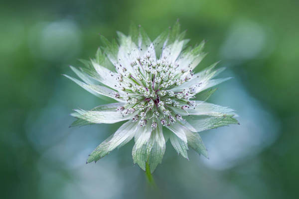 Wall Art - Photograph - Astrantia by Jacky Parker