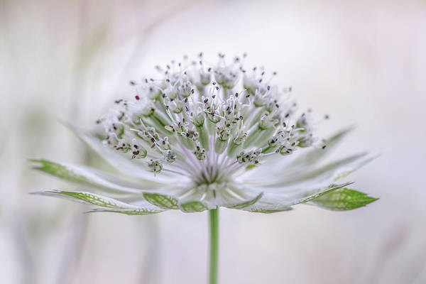 Astrantia Art Print by Mandy Disher