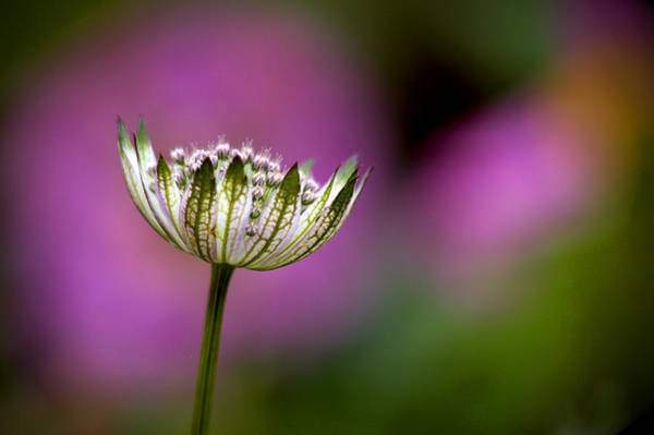 Photograph - Astrantia by Peter OReilly