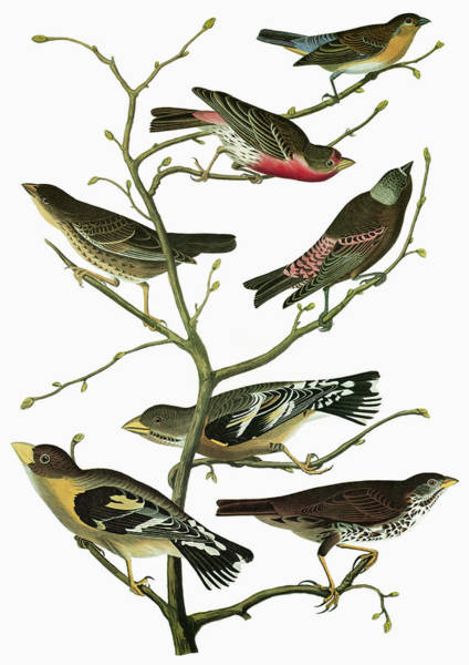 Bunting Painting - Audubon Songbirds by Granger