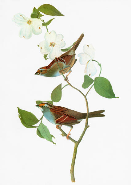 Wall Art - Painting - Audubon Sparrow by Granger
