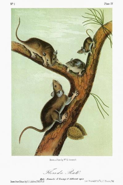 Pine Needles Painting - Audubon Woodrat by Granger