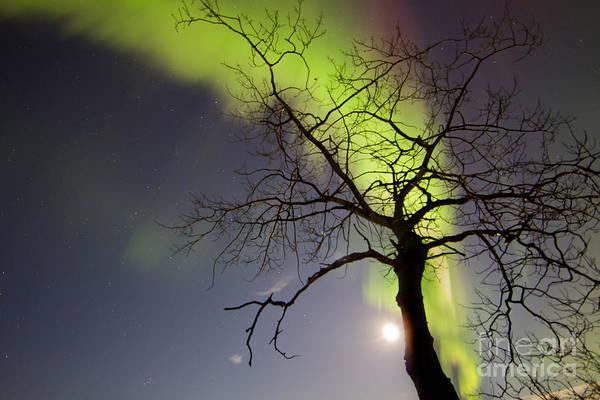 Photograph - Aurora Borealis With Tree And Pleiades by Joseph Bradley