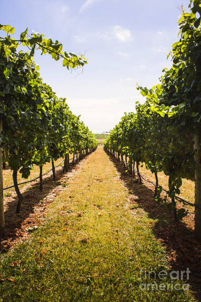 Photograph - Australian Winery Landscape Of Vineyard Grapes by Jorgo Photography - Wall Art Gallery