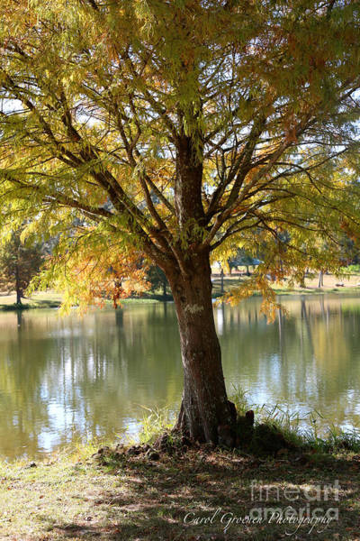 Photograph - Autumn Cypress Reflection by Carol Groenen