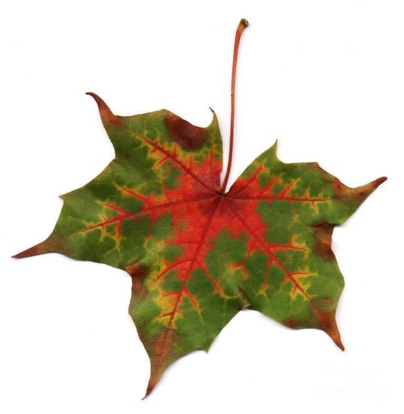 Photograph - Autumn Leaf by Scott Camazine