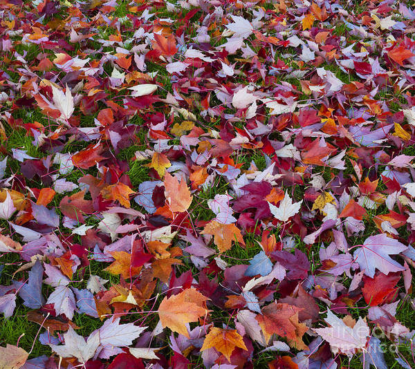 Photograph - Autumn Maple Leaves by John Shaw