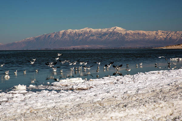Deposit Photograph - Avocets On Antelope Island by Jim West