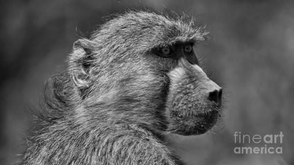 Photograph - Baboon by Mareko Marciniak