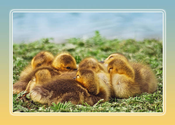Gosling Photograph - Baby Geese by Michael Peychich