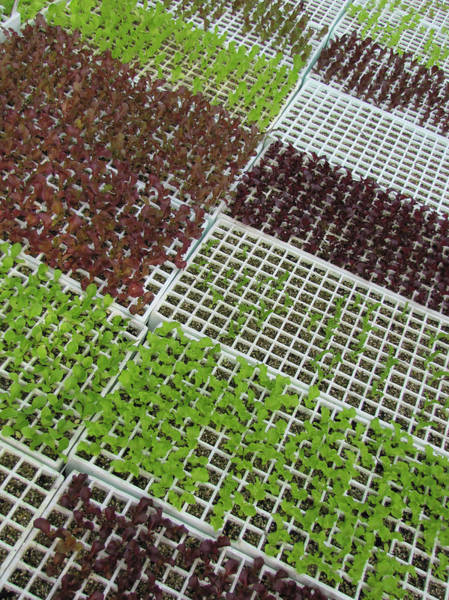 Leaf Photograph - Baby Lettuce by Francois Dion