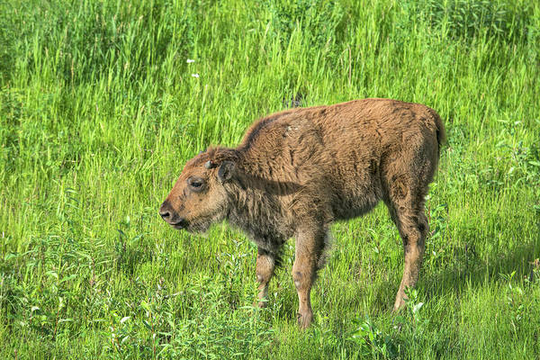 Wood Photograph - Baby Wood Bison by Mark Newman