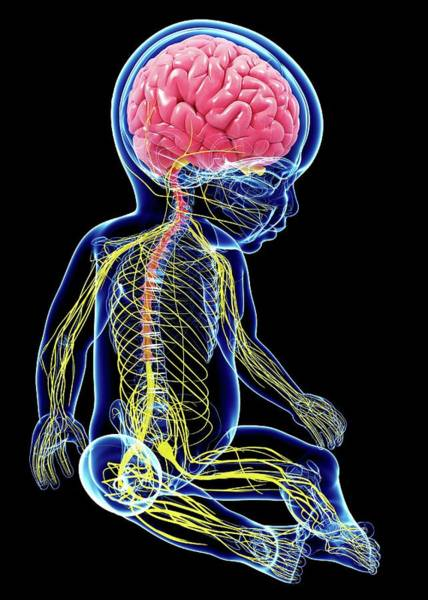 Spinal Cord Photograph - Baby's Nervous System by Pixologicstudio