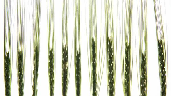 Stalk Photograph - Back Lit Wheat Stalks by Photostock-israel/science Photo Library