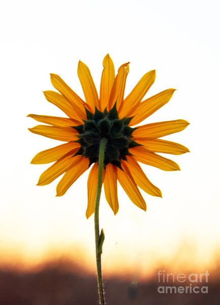 Sunflower Seeds Photograph - Backside by Robert Bales
