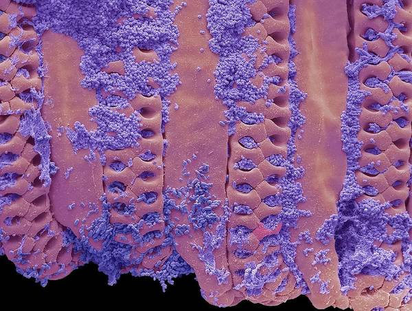 Wall Art - Photograph - Bacteria On House Fly Tongue by Steve Gschmeissner/science Photo Library