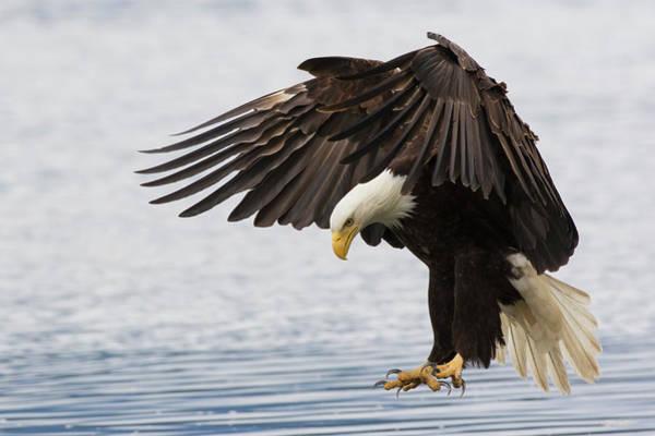 Wall Art - Photograph - Bald Eagle Alighting by Ken Archer