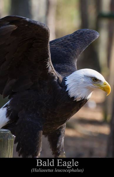 Digital Art - Bald Eagle by Chris Flees