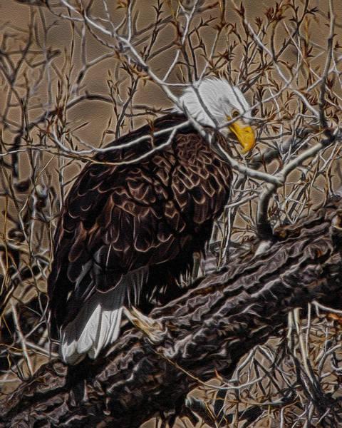 Colorado Wildlife Digital Art - Bald Eagle Digital Art by Ernie Echols