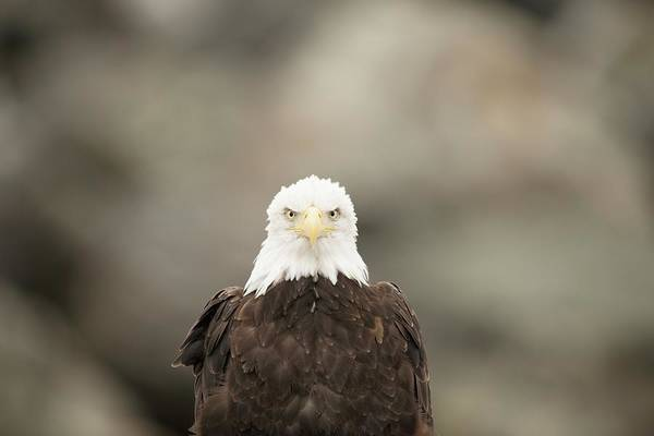 Haliaeetus Leucocephalus Photograph - Bald Eagle by Dr P. Marazzi/science Photo Library