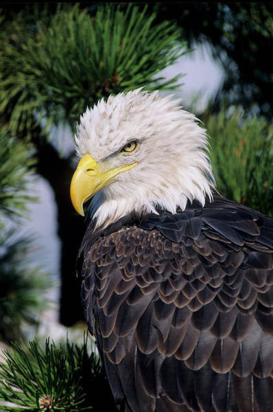 Haliaeetus Leucocephalus Photograph - Bald Eagle (haliaeetus Leucocephalus by Richard and Susan Day