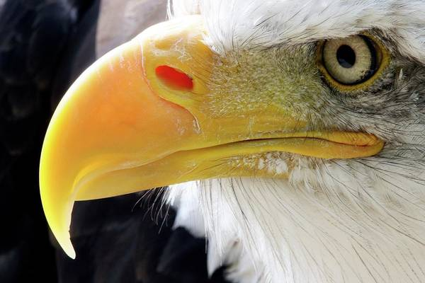 Haliaeetus Leucocephalus Photograph - Bald Eagle by John Devries/science Photo Library