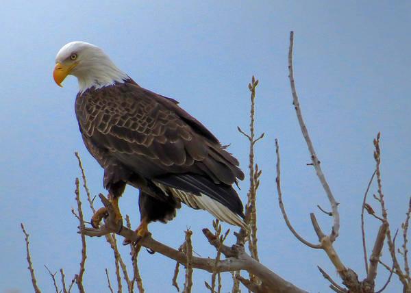 Wall Art - Photograph - Bald Eagle On A Branch by Dawn Key