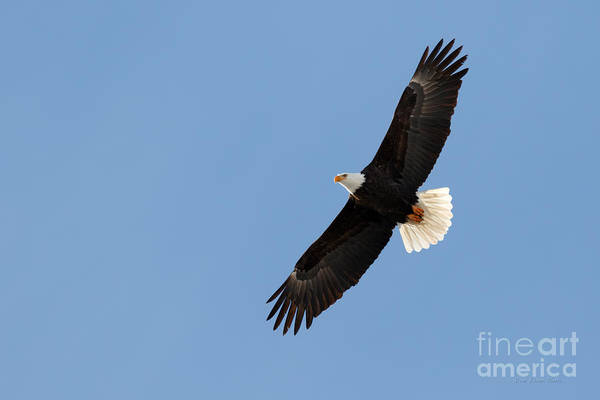 Photograph - Bald Eagle  by Beve Brown-Clark Photography