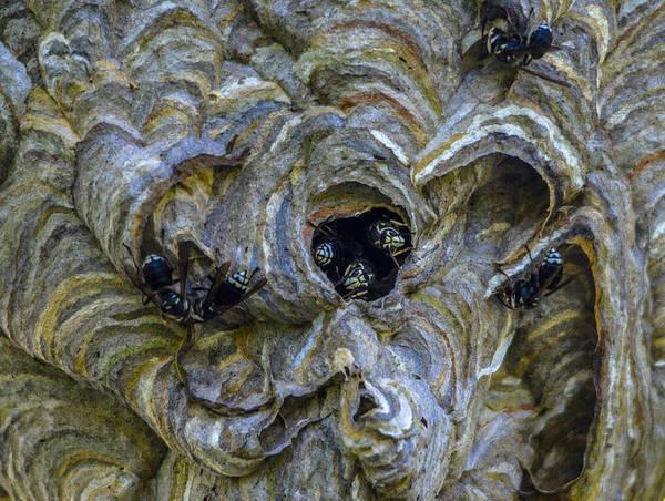 European Hornet Photograph - Bald-faced Hornet Nest by Brian Stevens