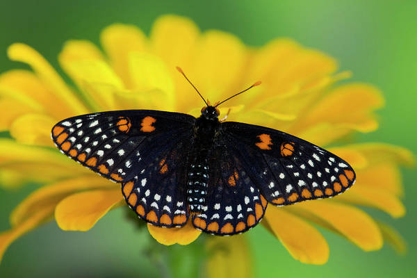 Zinnia Wall Art - Photograph - Baltimore Checkered Spot Butterfly by Darrell Gulin