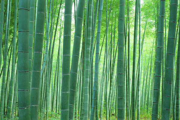 Bamboo Photograph - Bamboo Forest, Sagano, Kyoto, Japan by Panoramic Images