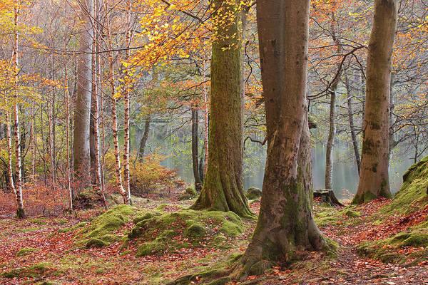 Baneriggs Wood Near To Grasmere Art Print