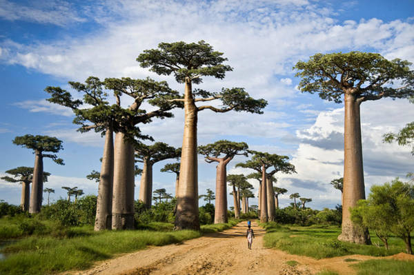 One Way Road Photograph - Baobab Trees Adansonia Digitata by Panoramic Images