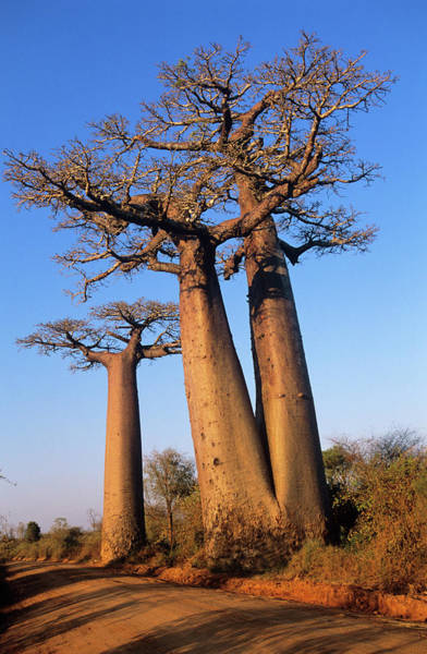 Wall Art - Photograph - Baobab Trees by Tony Camacho/science Photo Library