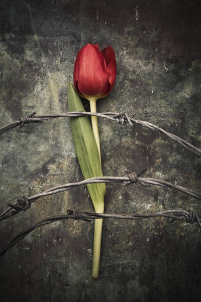 Photograph - Barbed Wire And Tulip by Maria Heyens