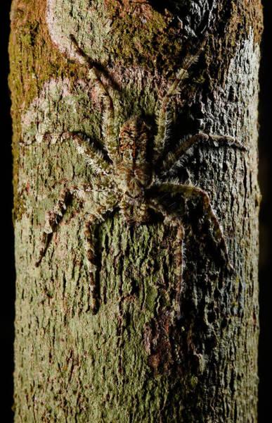 Photograph - Bark Spider by Francesco Tomasinelli
