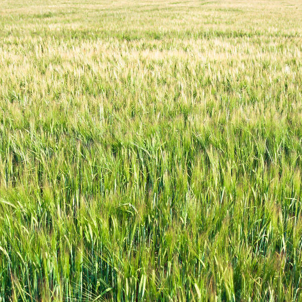 Staples Photograph - Barley by Tom Gowanlock