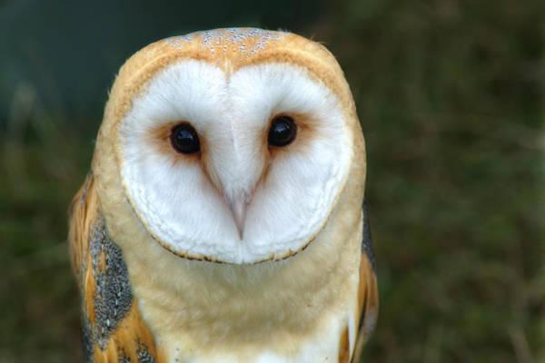Nikon D5000 Photograph - Barn Owl by Chris Day