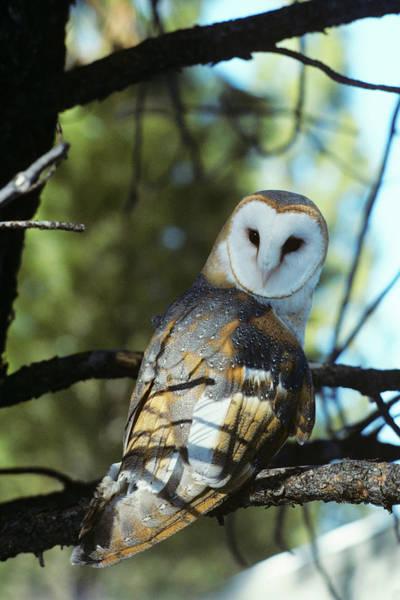 Wing Back Photograph - Barn Owl Tyto Alba Worldwide Range High by Animal Images