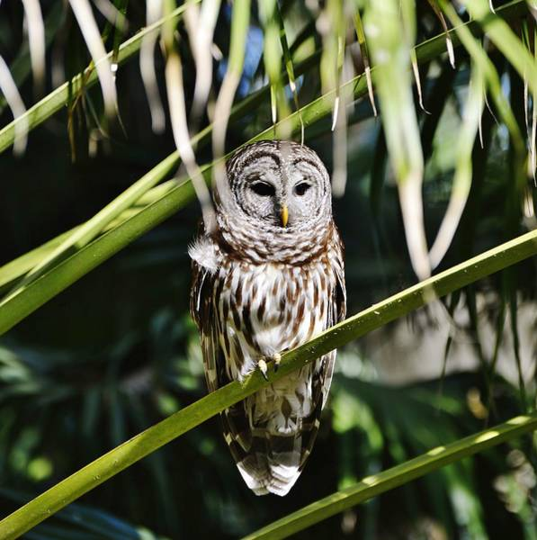 Photograph - Barred Owl by Bill Hosford